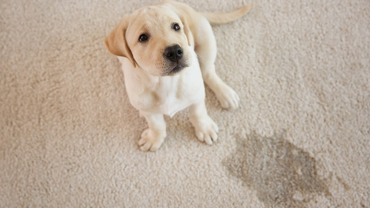 How A Professional Carpet Cleaning Company Removes Pet Urine From Carpet