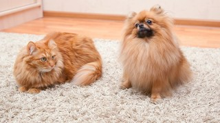 How to Remove Pet Urine from Carpet